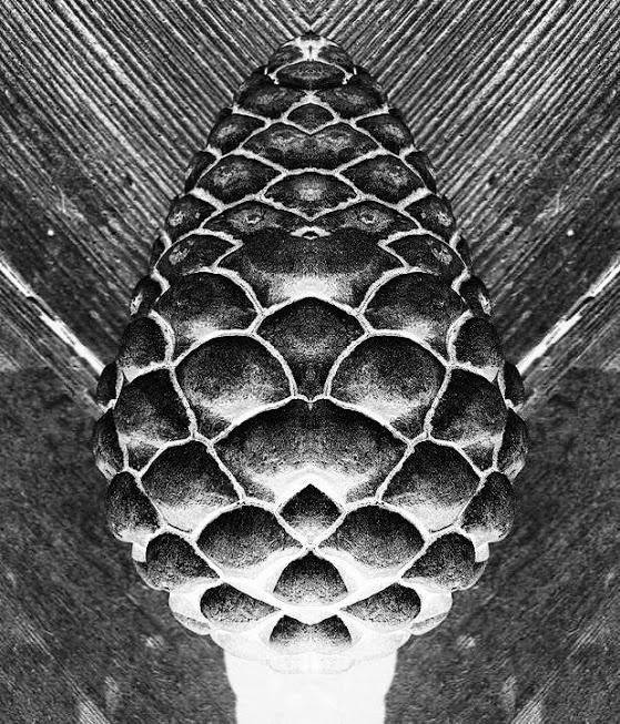 pine+cone